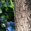 GREEN CRESTED LIZARD <i>Bronchocela cristatella</i> Subic