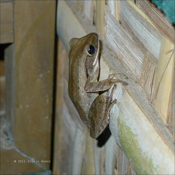 Common Tree Frog <i>Polypedates leucomystax</i> Bilar, Bohol  August 2011  Thanks for the id Lala Española!