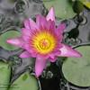 lotus?