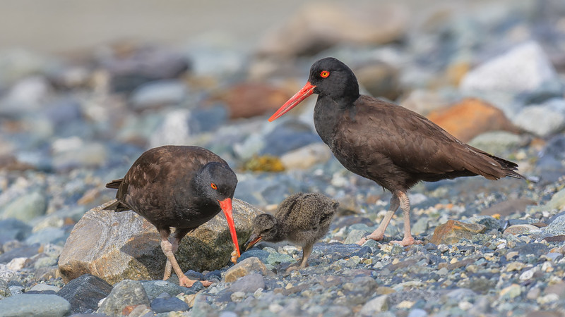 23  Oyster Catcher Feeding Young