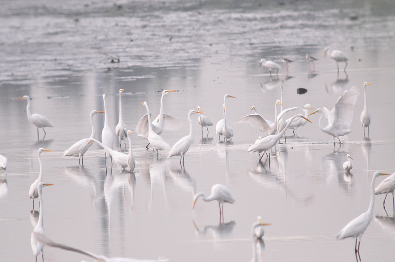 Egrets at Coastal Lagoon.