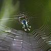 Probably a comb-footed spider<br /> <br /> Sabang, Palawan