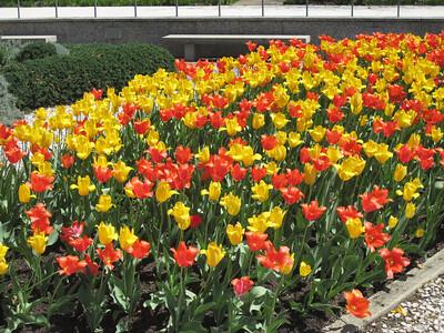 Two-toned tulip tangle