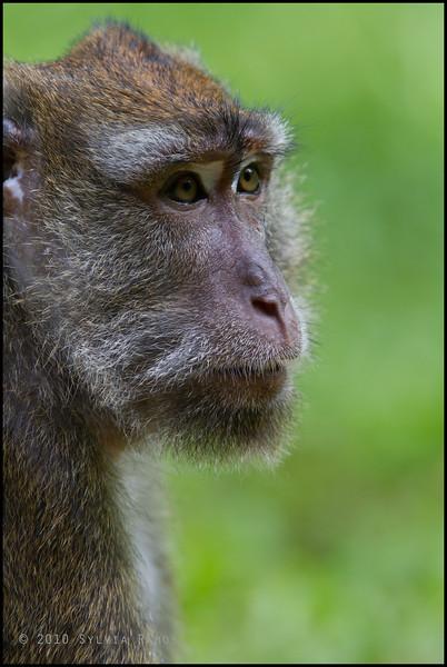 <i>Macaca fascicularis</i> Long Tailed Macaque  Rajah Sikatuna Park, Bohol