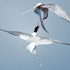Artic Terns