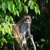 Long-tailed Macaque<br /> Subic<br /> November 2011