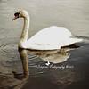 swans (104)