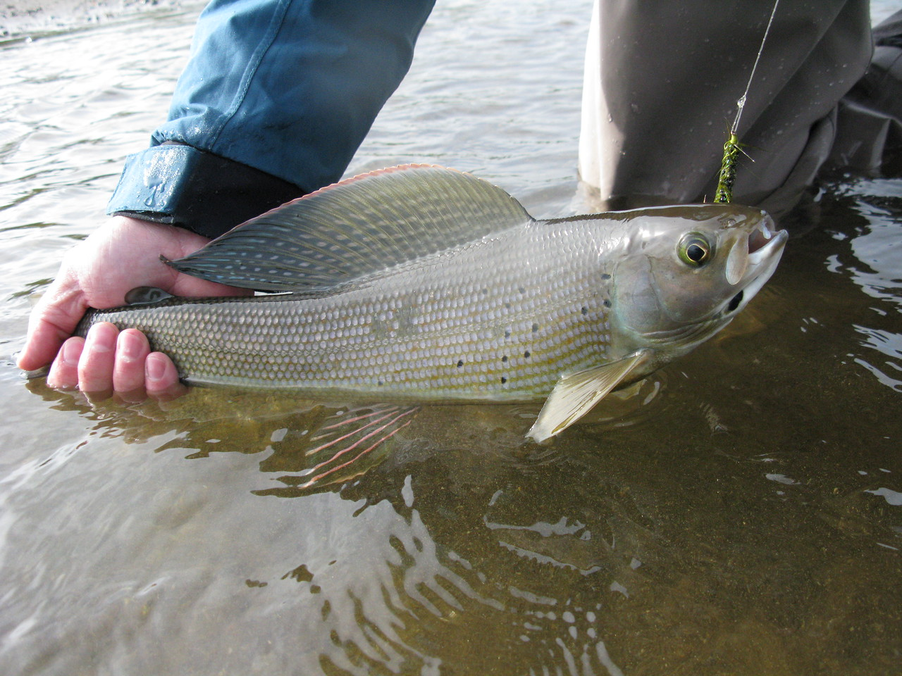 Artic Grayling on Fly. Arolik River Western Alaska.
