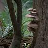Ganoderma Fungi