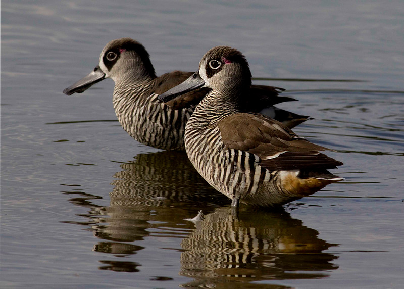 Pink-eared Duck.  The sad clown look is rather nice.  Lake Monger, Perth.
