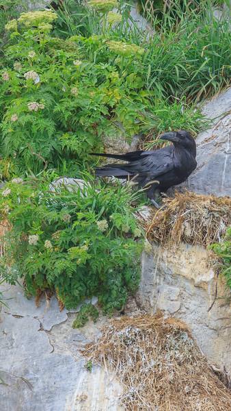 27  Raven