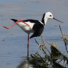 Black-winged Stilt - <br /> Is this giving me the bird?