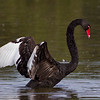 Black Swan.  Canon 60D 400mm 5.6 lens.