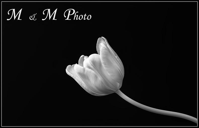 DSC_6405-Tulip-with-Caption
