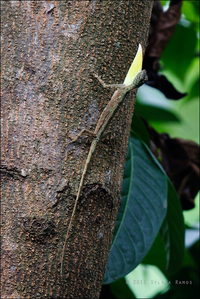 """Flying Lizard, male either <i>Draco volans</i> or <i>Draco spilopterus</i> Antipolo, Rizal  The yellow flap of skin is called a dewlap. The male lizards use it to signal each other. Ronald Achacoso said,  """"like a flag for visual territorial display (of mood or intent)""""."""