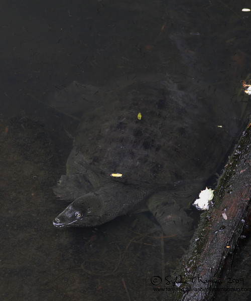 Soft shell turtle at the golf course of Alabang Country Club