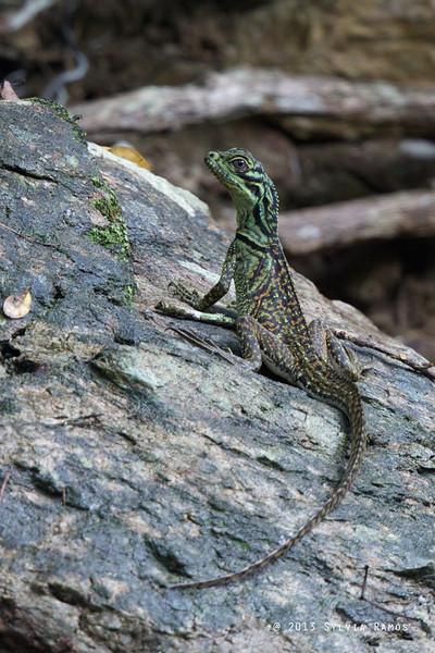 Sailfin Lizard<br /> Malasag, Cagayan de Oro, Mindanao, Philippines