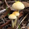 Leucoagaricus Pudicus