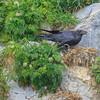 26  Raven Canabilizing Kittewake Nest