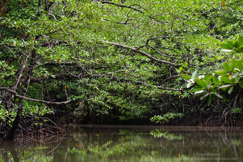 Mangrove area, Sabang Palawan
