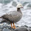 21  Emperor Goose