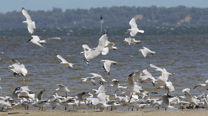 Gull billed Tern with Silver Gulls.