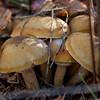 Cortinarius Subpurpurascens ??