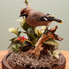 "<span style=""color:#023644""> <center><small>A Favorite Possession:<br><em>Bohemian Waxwing, artist's collection, 2011<br></em> </small></center>"