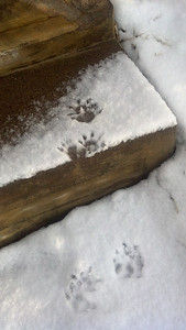 raccoon or possum feet?