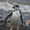 Chin Stap Penguine Deception Island