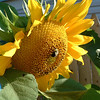 This year we grew mammouth sized sunflowers. The bees had a good time with them.
