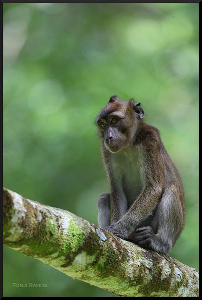 Long Tailed Macaque <i>Macaca fascicularis</i> September 2010, Rajah Sikatuna Park in Bilar, Bohol.
