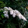 Quarry Hill Pond White Flower-
