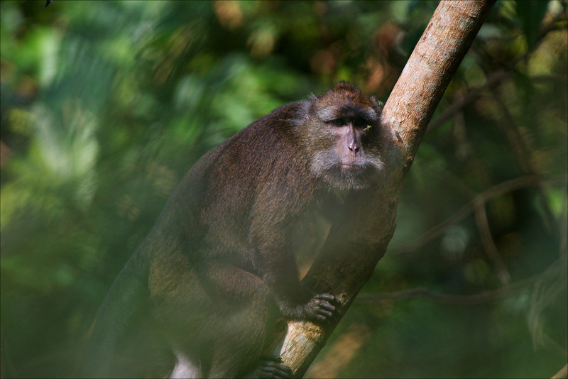 Long-tailed Macaque<br /> Mt. Palay Palay, October 2011