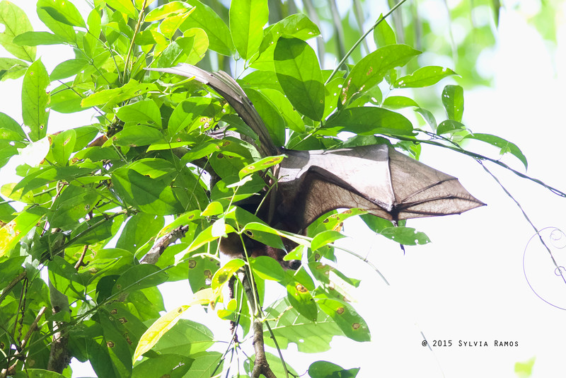 Island Flying Fox (provisional ID) <i>Pteropus hypomelanus</i> Tablas Island, Romblon  from IUCN Redlist: Suffering from hunting pressure and habitat loss in the Philippines, where it may be Near Threatened. On a global scale, it is abundant, and should be considered Least Concern.