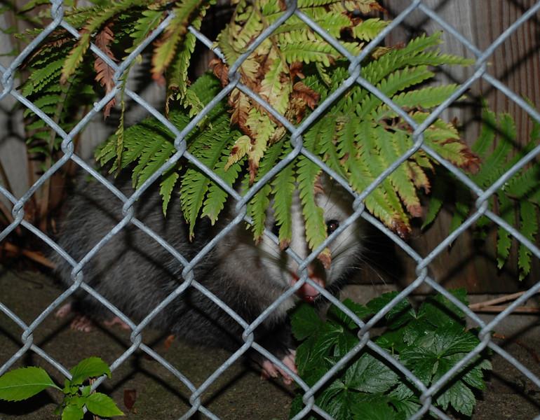 Possum 1