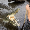 Crocodylus acutus-chris93