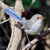 Splendid Fairy-wren - Malurus splendens<br /> <br /> The female, seen here, has a distinct pale brown ring around the eye.   Although common in parts of the metro area they seem to be on the decline.  Their sudden absence from my own garden coincided with the arrival of a pair of Laughing Kookaburra.  (pers obs)  This species of wren is often seen 5-7 meters high up in trees and tall shrubs.  It moves around in small groups within its territory.