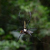 "Big spider, a female Nephila or Golden silk orb-weaver. The female is bigger than the male.<br /> According to wikipedia, ""In Japanese folklore, Jorōgumo, a type of yōkai, is thought to be a Nephila (Jorō spider) which can shapeshift its appearance into a seductive woman.""<br /> <br /> From Aimee Lynn, ""harmless po sila; malaki po kasing energy ang required to produce venom so nakalaan po ito usually for hunting, rarely for defense; allergy-wise naman po ay depende pa din sa tao po; asthmatic po ako but di naman po ako allergic sa spider bite : ) di po sila mangangagat basta wag nyo lang po tatakpan ang mata :)""<br /> <br /> Rajah Sikatuna Park<br /> Bilar, Bohol,<br /> <br /> August 2011"