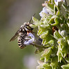 Western Australian Native Bee: Blue-banded species