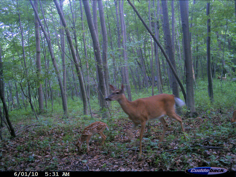 BEAUTIFUL MOTHER WITH TWO FAWNS. ONE IS TO THE FAR RIGHT JUST BARELY IN THE PICTURE FRAME.