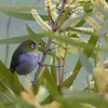 "Silvereye - Zosterops lateralis chloronotus<br /> <br /> This small bird often moves in groups and can be quite noisy.  They can form a ""cloud"" with other small bird species.  It is possible that these ""clouds"" are a protective devise against birds of prey."