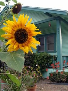 Sunflower in Ventura With Cher's Camera