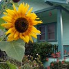 Sunflower in Ventura<br /> With Cher's Camera