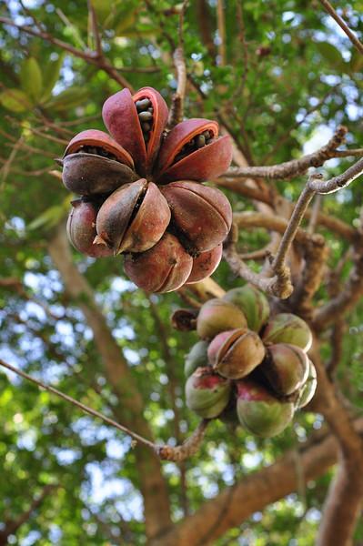 An interesting tree in Alabang.