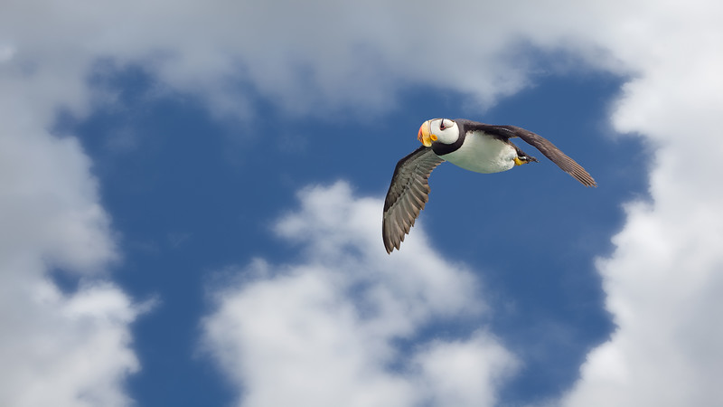 12  Puffin Flying