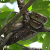 <i>Python reticulatus</i>  This snake was hanging on a branch of a mangrove tree. Sabang, Palawan.