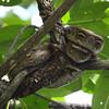 <i>Python reticulatus</i>  This snake was hanging on a branch of a mangrove tree. Sabang, Palawan.
