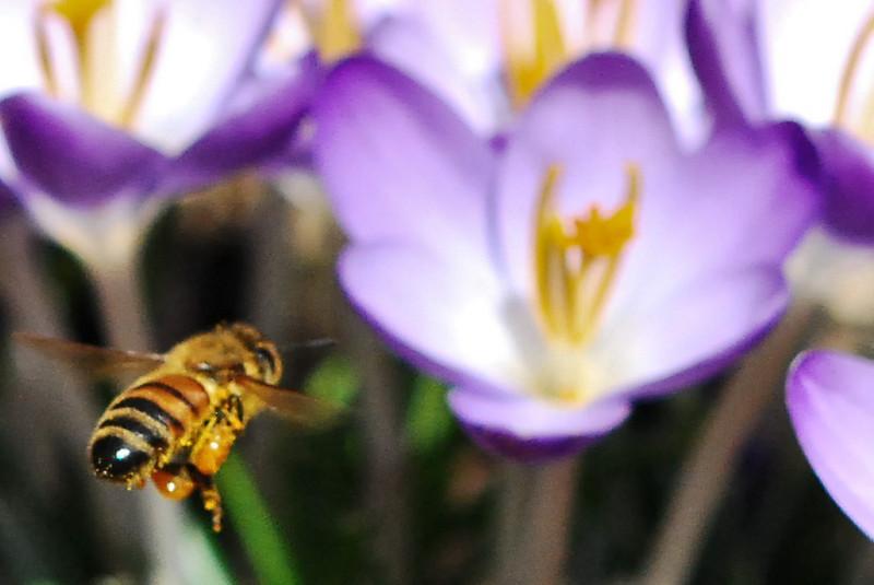 Bee Approaching a Crocus