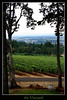 the vinyard